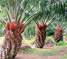Download image African Palm Oil Fruit Tree Images PC, Android, iPhone ...